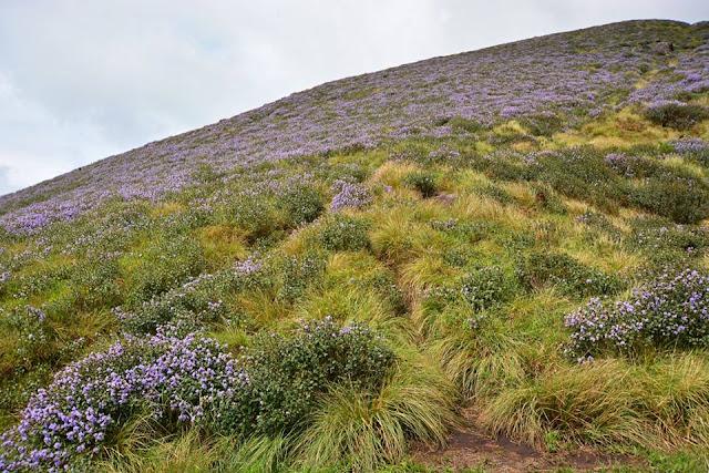 neelakurinji next bloom, pictures of neelakurinji full blooming in munnar, neelakurinji munnar 2014,