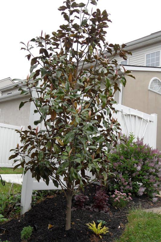 Magnolia Grandiflora Bracken S Brown Beauty Bev S Playtime
