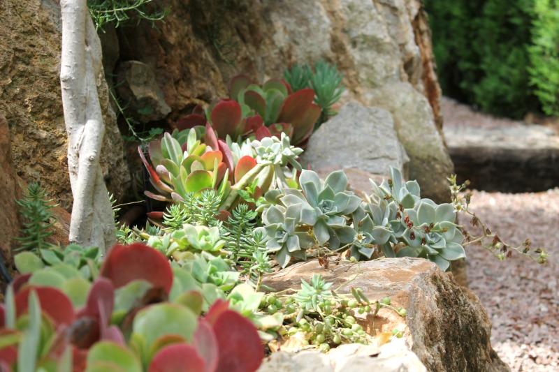 Suculentas en la rocalla