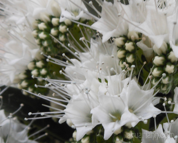 White Flowers Photo by Aquariann