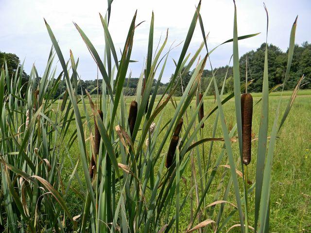 rośliny terenów podmokłych, roślin łąkowe