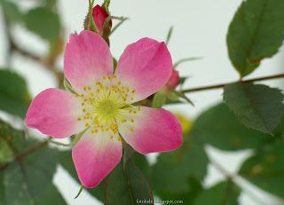 http://fotobabij.blogspot.com/2016/03/roza-czerwonawa-kwiat-rosa-glauca.html