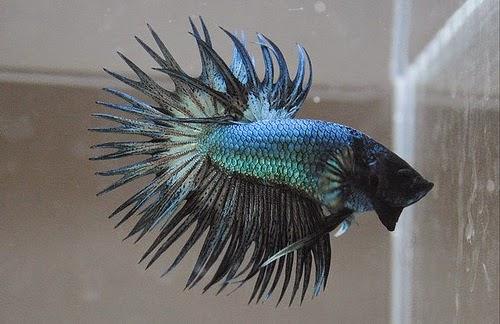 http://ikancupangqu.blogspot.com/2014/01/ikan-cupang-crown-tail.html