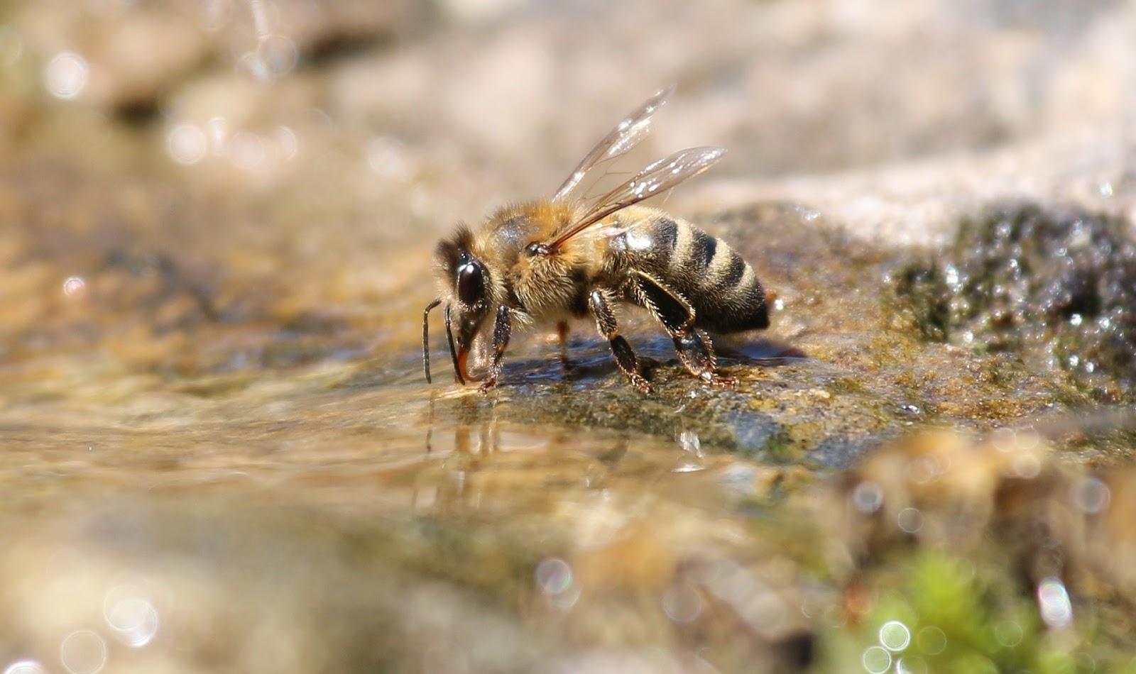 astuces-pour--aider-les-abeilles-a-notre-echelle