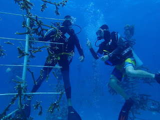 Selecting corals to be outplanted for restoration from the Coral Restoration Foundation nursery in the Florida Keys. (Credit: Mark Ladd, CC BY-ND) Click to Enlarge.