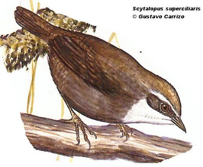 White browed Tapaculo