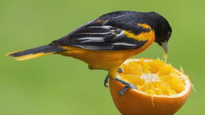 pájaro comiendo una naranja