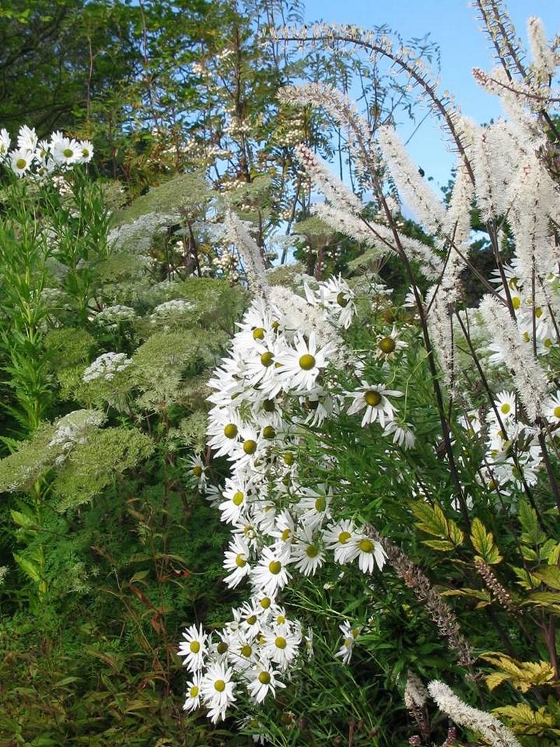 Selinum wallichianum, Actaea simplex 'Brunette' y Leucanthemella serotina.