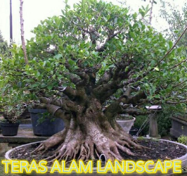 Jual pohon bonsai lohansung