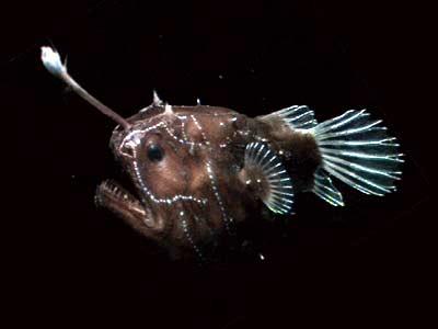 Hadal zone fish nvsi mr limas wikiclass the hadal zone hadal zone fish sciox Choice Image