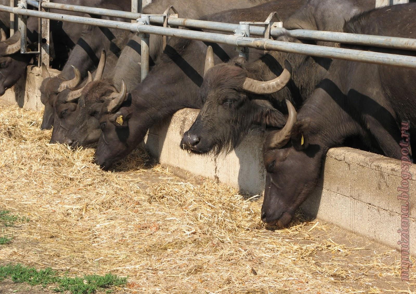 молоко черных буйволов для производства моцареллы