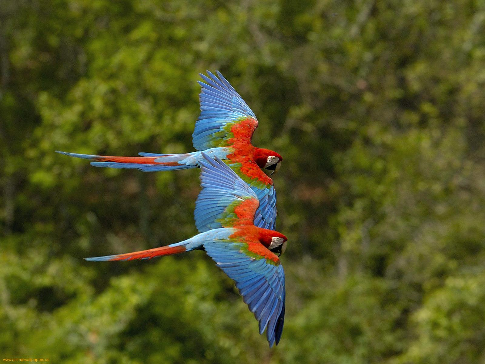 Parrot Birds Wallpapers