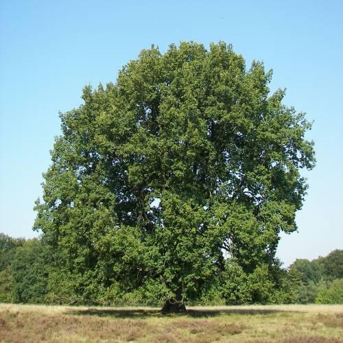 Carvalho (Quercus pedunculata)