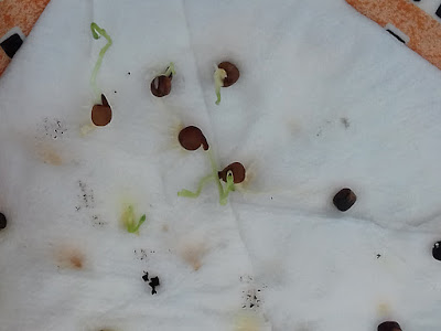 Chitting Sweet Peas