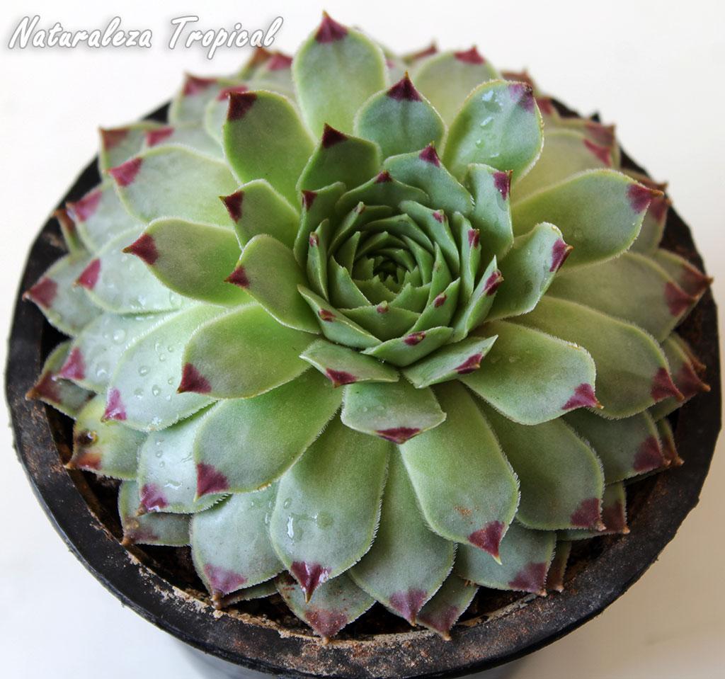 Naturaleza Tropical: La planta suculenta Uña de Mujer o Siempreviva ...