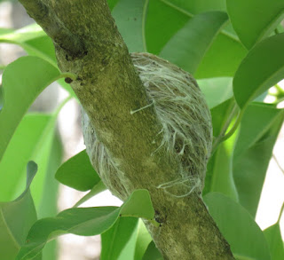 Common Iora nest