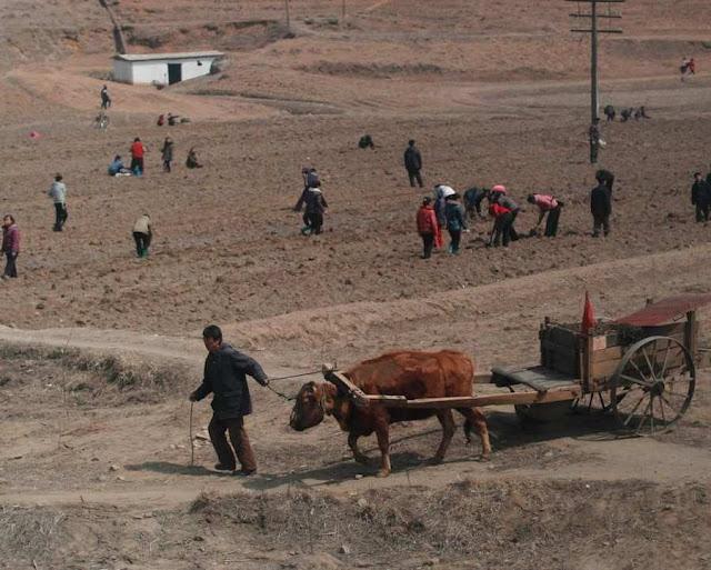 Miséria nos campos da Coreia do Norte provocada pela reforma agrária