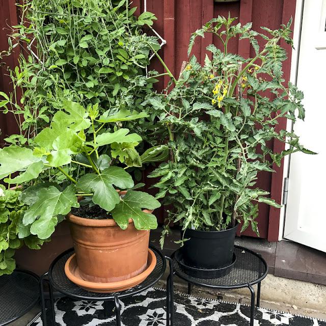 fikonträd, tomater