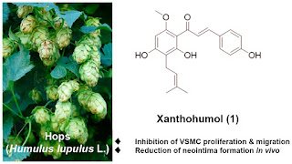 Xanthohumol, bioactive phytochemical from hops, counteracts blood vessel narrowing processes