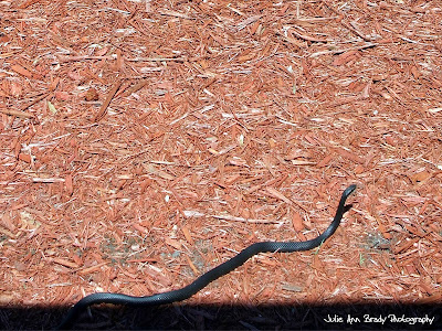 Black Rat Snake - Leesburg, Florida