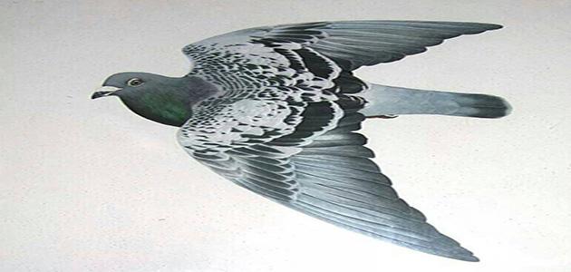 كيفية تركيب وتفريخ وتطوير طيور الحمام الزاجل