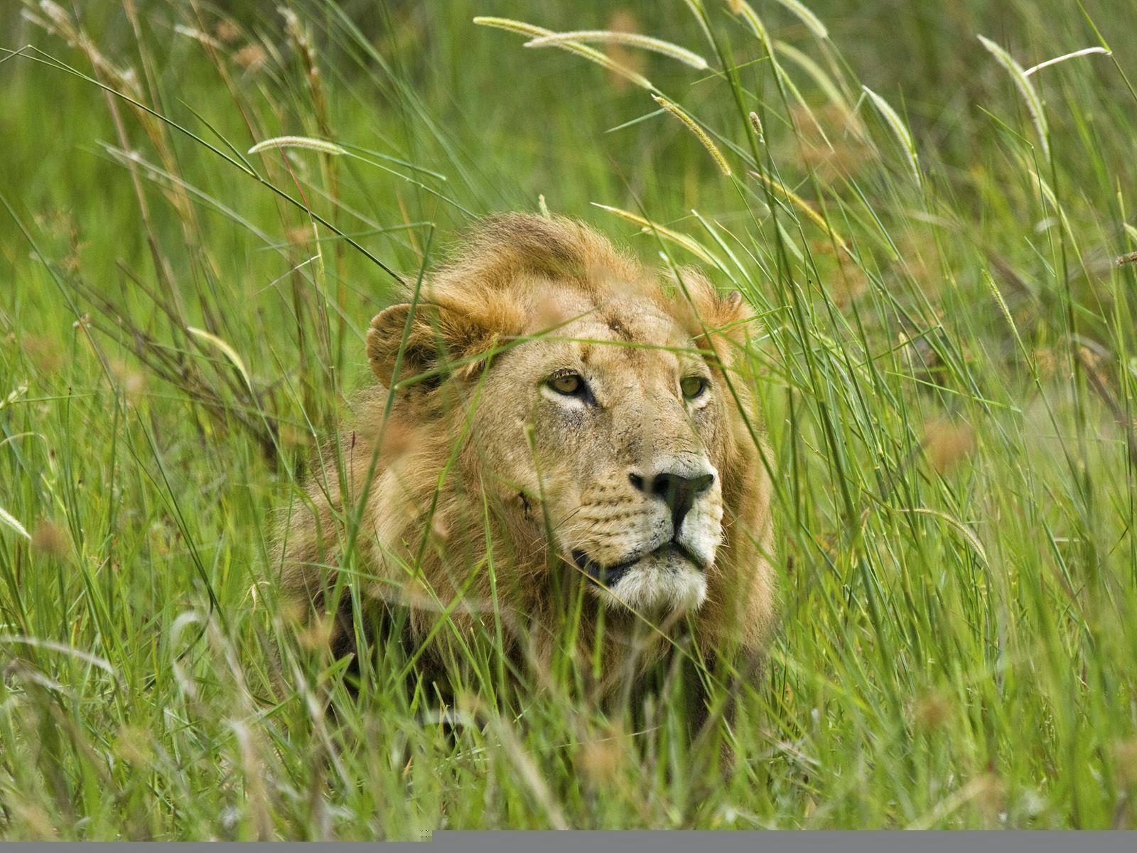 Magnificent-Lion