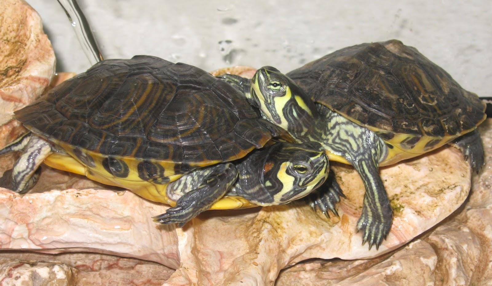 Animali e natura tartarughe le pi diffuse nelle for Letargo tartarughe acqua