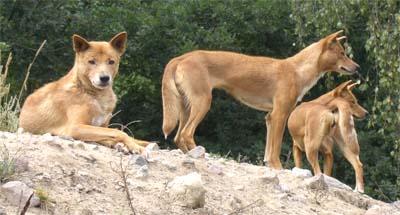 "Dingo, Anjing Liar dari ""Benua Kanguru"" | RE Tawon"