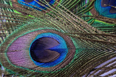 Peacock Feathers Wallpapers