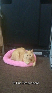 Carmine laying in his pink bed in front of the treadmill.