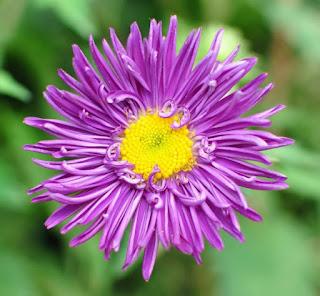 Gambar Bunga Aster Cantik 1