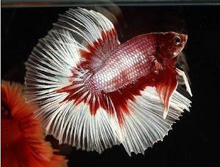 Gambar Ikan Hias yang Populer Dipelihara Sekarang Ini
