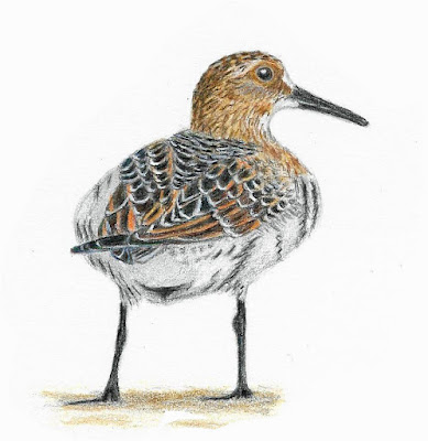 Baird's Sandpiper colored pencil painting by Greg Gillson.