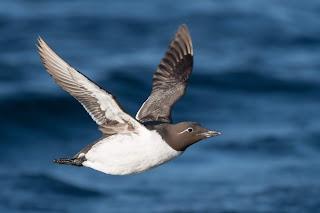 Common Murre in flight