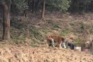 Tak Nak Bayar Tiket Zoo Seorang Dimakan Harimau