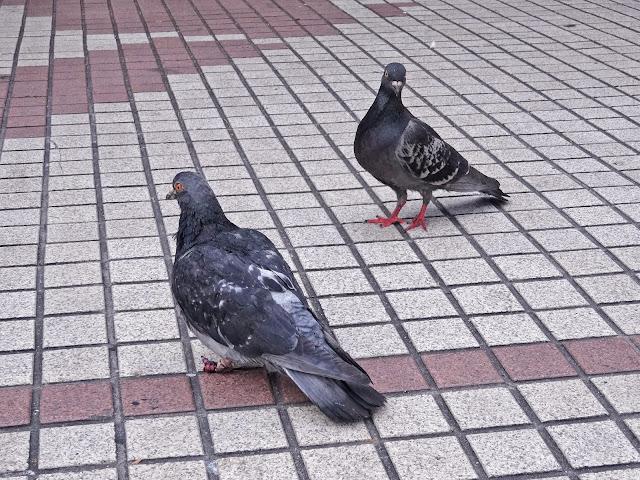鳩,渋谷,ハチ公前〈著作権フリー無料画像〉Free Stock Photos