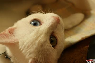 オッドアイ子猫
