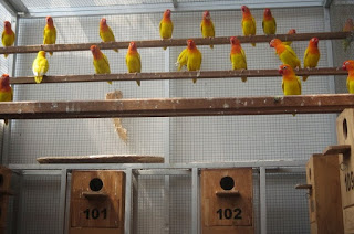 Usaha-Ternak-Lovebird