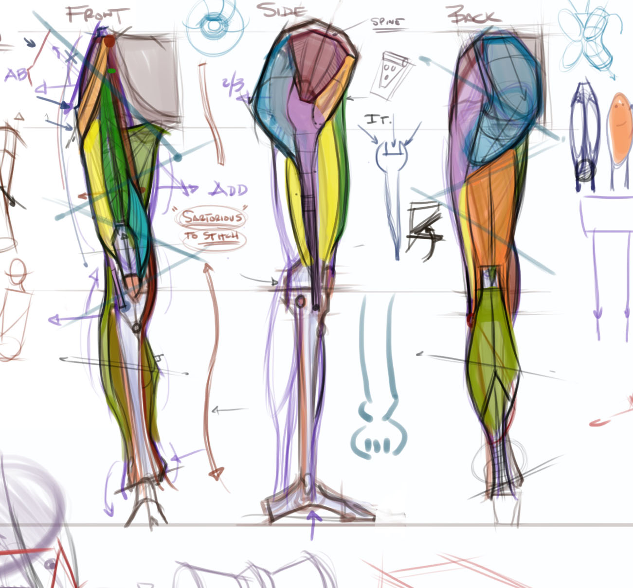 This is a graphic of Tactueux Muscle Leg Drawing