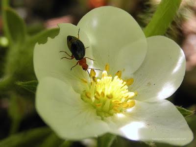 insecto en una flor de fresa