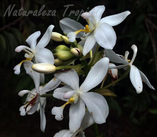 Flores blancas de un híbrido del género Spathoglottis