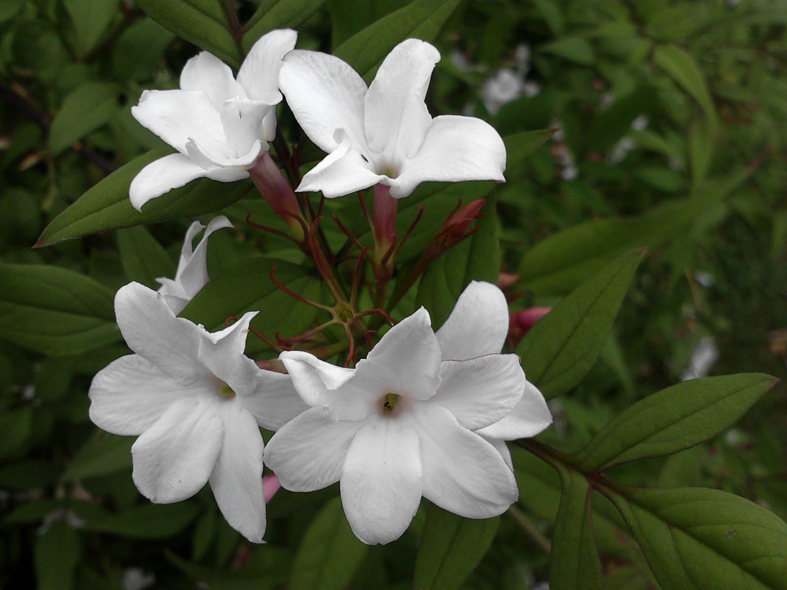 Gambar Bunga Melati Putih Tercantik Wallpaper202
