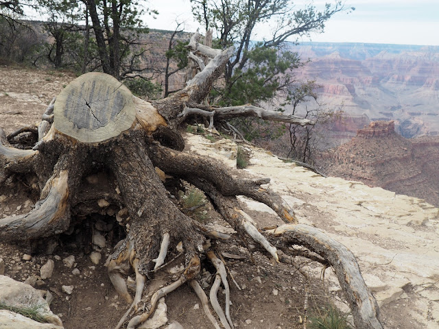 Tree in Grand Canyon, Arizona