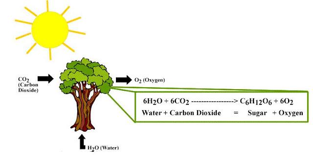 Proses Terjadinya Fotosintesis pada Tumbuhan Hijau (Reaksi Kimia, Reaksi Gelap, Reaksi Terang)