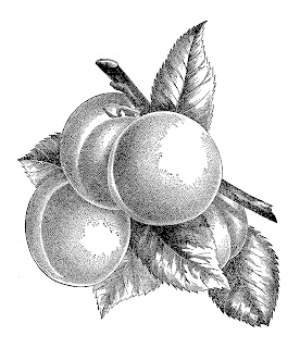 peach fruit botanical artwork illustration stock image clipart