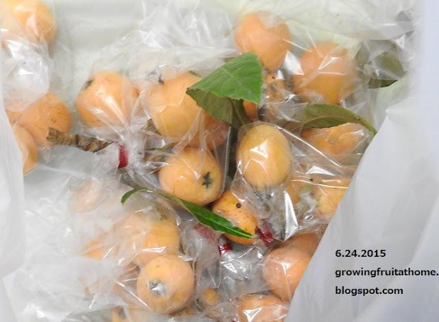 BIKOO果実袋の袋掛けで収穫したビワ