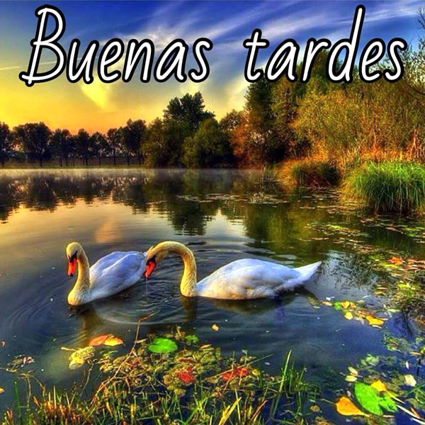 pareja de cisnes Buenas Tardes
