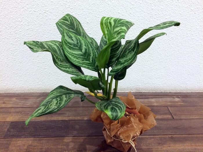 人気観葉植物アグラオネマ