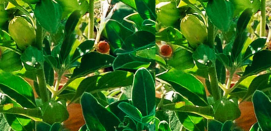 Ashwagandha In Combination With Other Herbs Plants and Dosage of Ashwagandha
