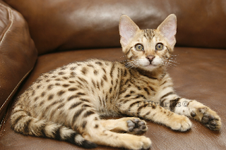 bengal cat rescue: Savannah Cats Known For Wonderful Features
